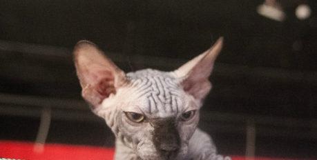 Осторожно, территория, заражённая котизмом: в Астрахани прошла выставка экзотических кошек