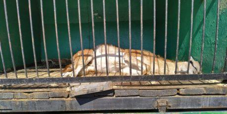 От передвижного зоопарка до региональной программы поддержки: в Астрахани решают проблему сайгаков