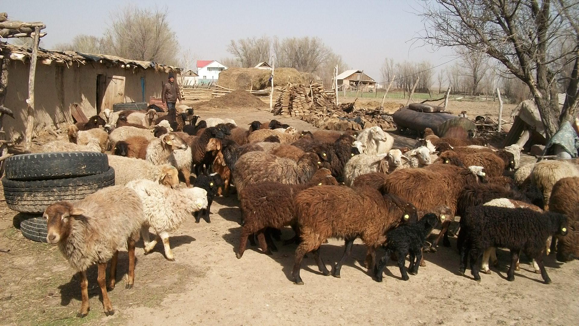В Астраханской области мелкий рогатый скот болен опасным заболеванием