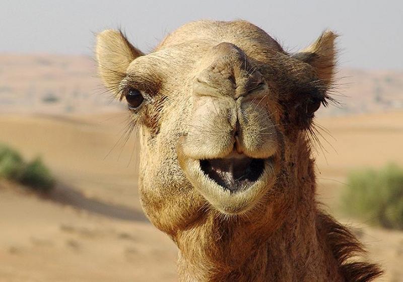Три астраханских села жалуются на нашествие верблюдов