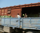 553 тонны арбузов отправились с астраханских жд-станций в разные точки России