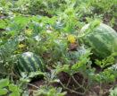 В Камызяке собирают прудовые арбузы