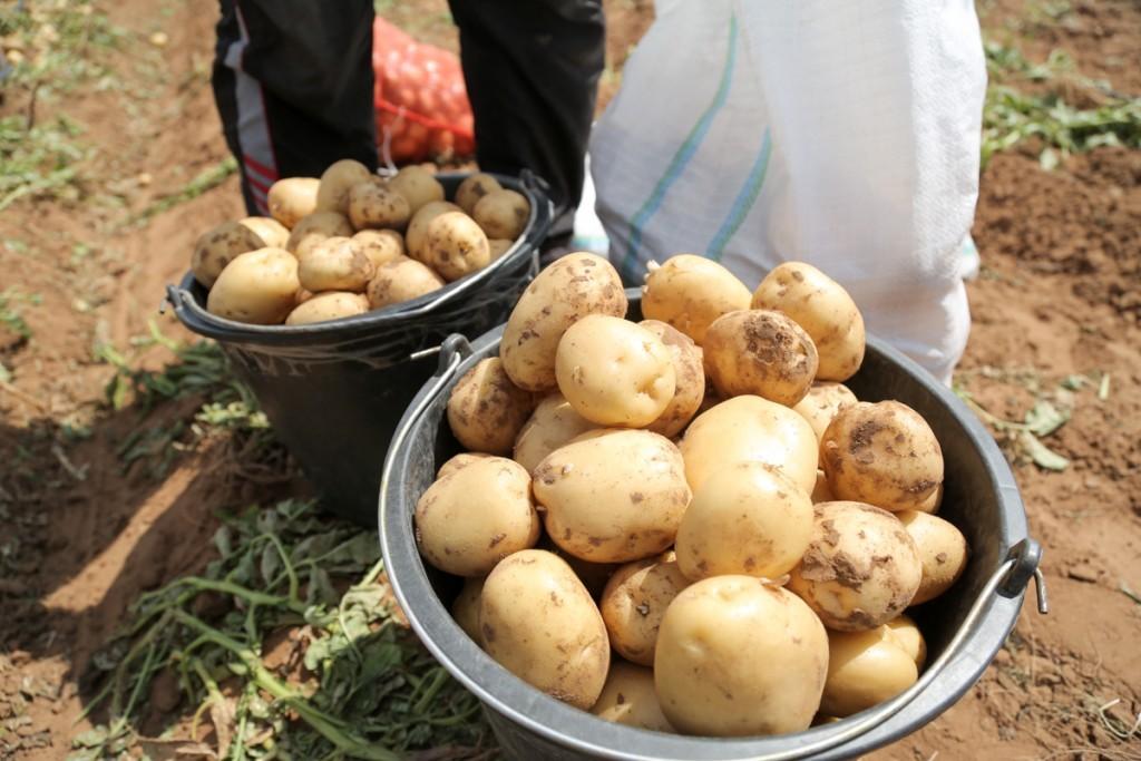 Астрахань лидирует в ЮФО по производству картофеля
